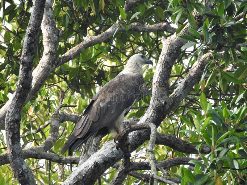 Rijp kale adelaarszitting op een boomtak op een blauwe hemelachtergrond, in de wildernissen van Sri Lanka royalty-vrije stock afbeeldingen