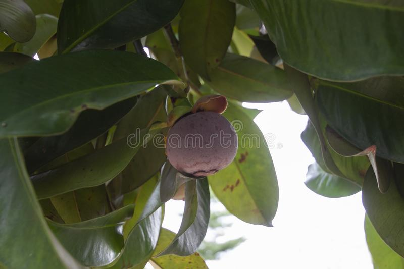 Rijp mangostanfruit op de boom in de tuin royalty-vrije stock fotografie