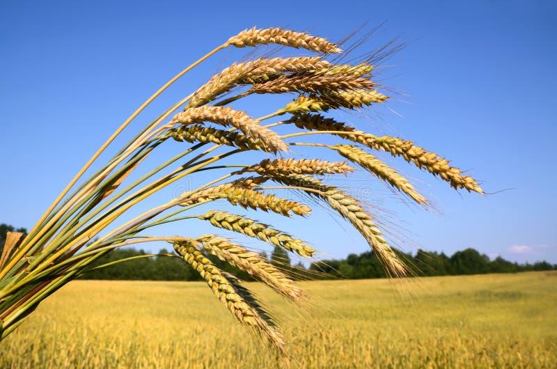 Rijp tarwe en landbouwbedrijfgebied stock fotografie