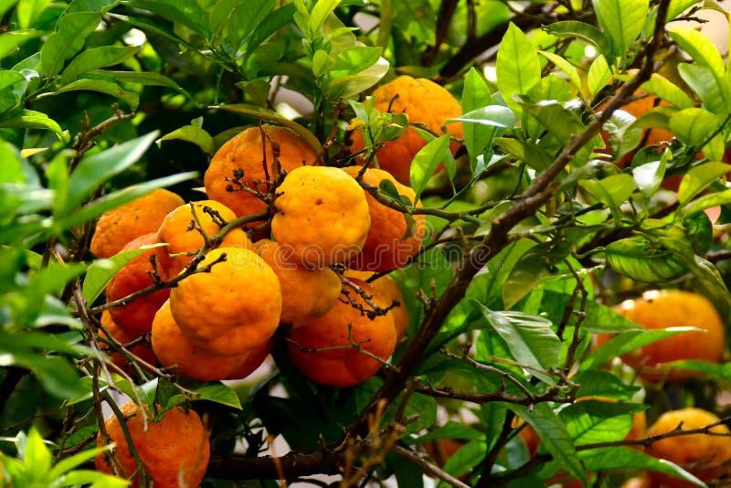 Rijp Valencia Oranges nog op de boom stock foto's