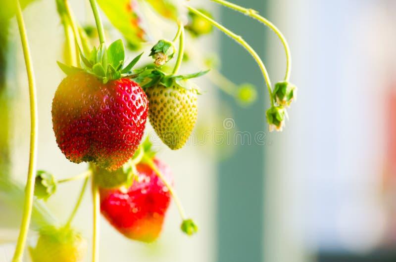 Rijpe aardbeien stock afbeeldingen