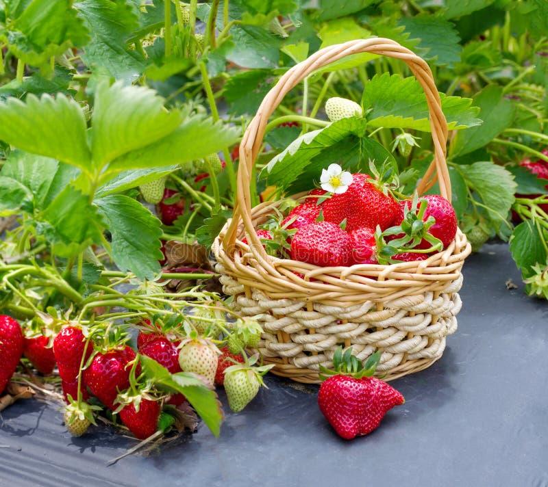 Rijpe aardbeien stock foto's