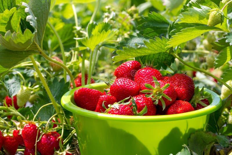 Rijpe aardbeien in een kom royalty-vrije stock foto's