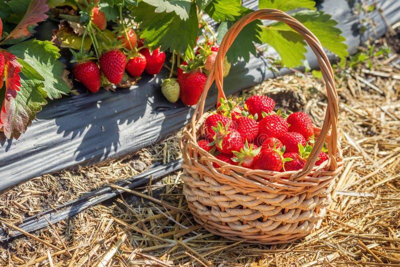 Rijpe aardbeien in een mand stock afbeeldingen