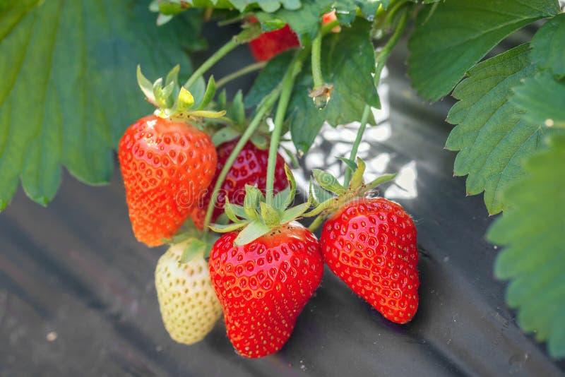 Rijpe aardbeien op een gebied stock foto's