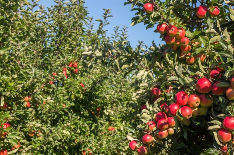 Rijpe appelen in boomgaard stock fotografie