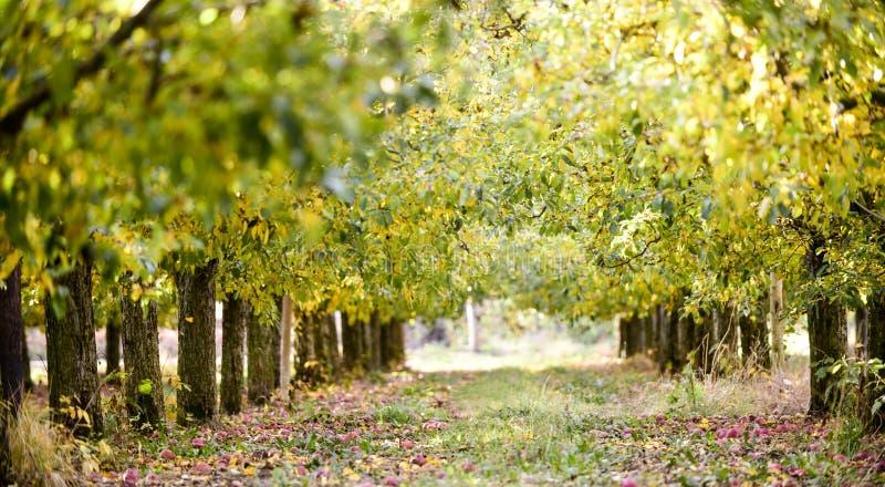 rijpe appelen in een boomgaard in de herfst stock fotografie