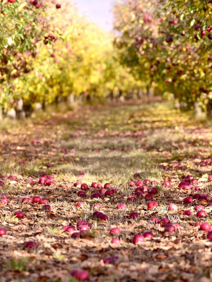 rijpe appelen in een boomgaard in de herfst royalty-vrije stock afbeeldingen