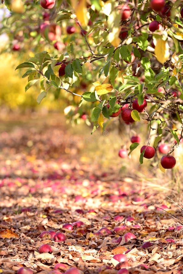 rijpe appelen in een boomgaard in de herfst stock foto's