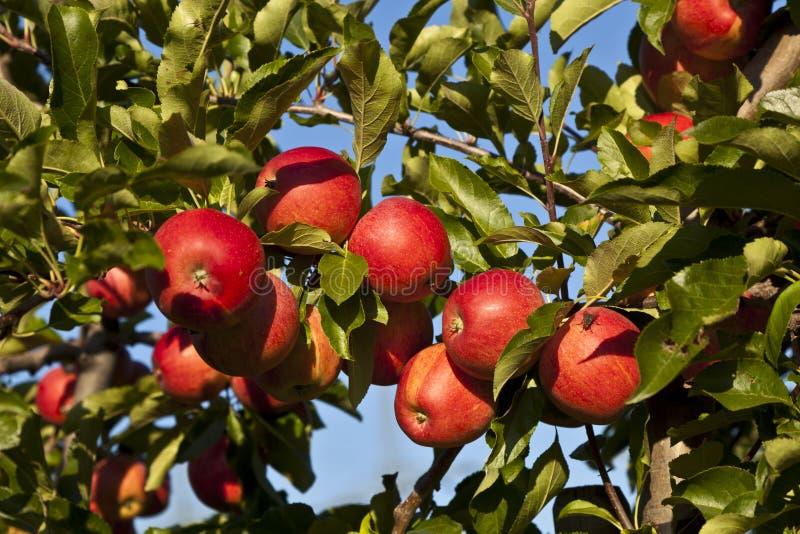 Rijpe appelen op een boomtak royalty-vrije stock afbeeldingen