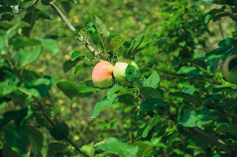 Rijpe appelen op een tak stock afbeeldingen