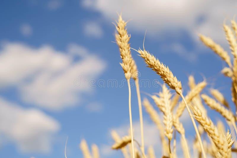 Rijpe aren tegen een blauwe hemel oogst royalty-vrije stock foto