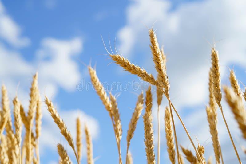 Rijpe aren tegen een blauwe hemel oogst royalty-vrije stock foto's