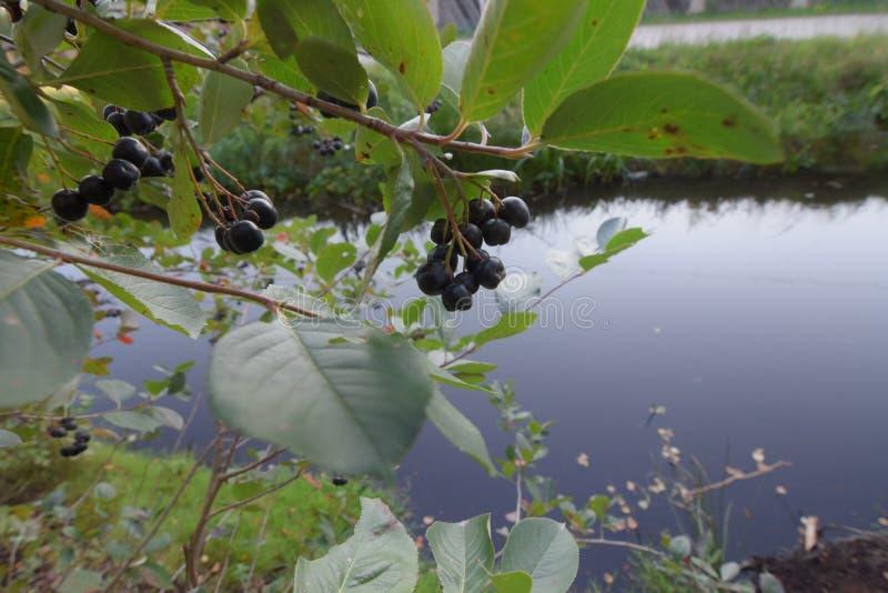 Rijpe Aronia-bessen Chokeberry in aard stock afbeelding