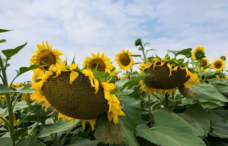 Rijpe bloeiende zonnebloemen dicht op het gebied met bewolkte hemel stock foto's