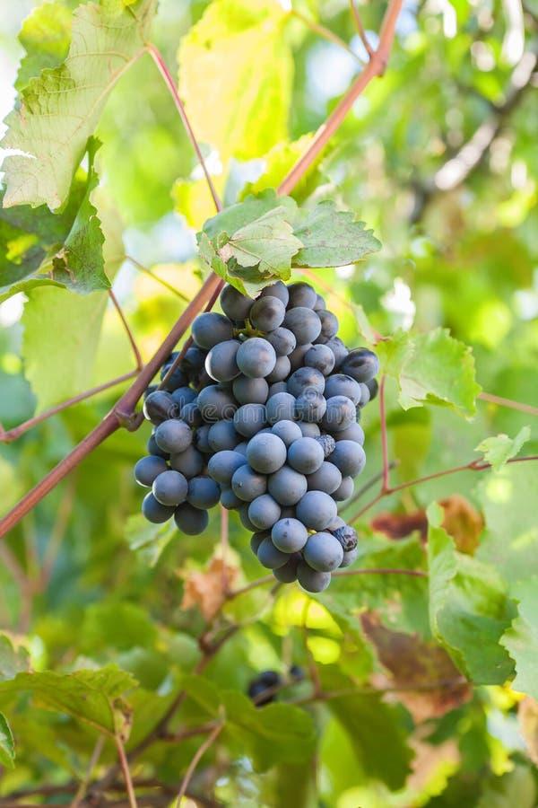 Rijpe bos van donkere druiven royalty-vrije stock foto's
