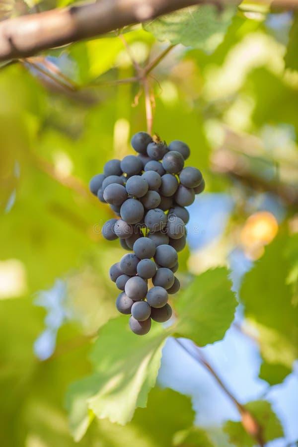 Rijpe bos van donkere druiven royalty-vrije stock afbeelding