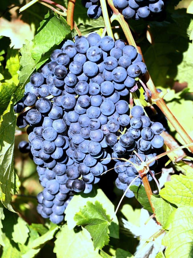 Rijpe bos van druiven in de wijngaard stock afbeelding
