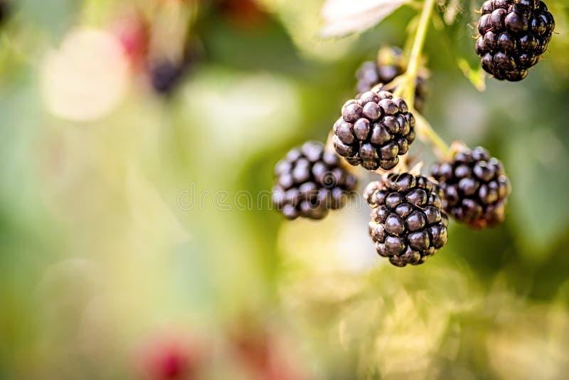 Rijpe braambessen op de struik op natuurlijke bladerenachtergrond stock fotografie