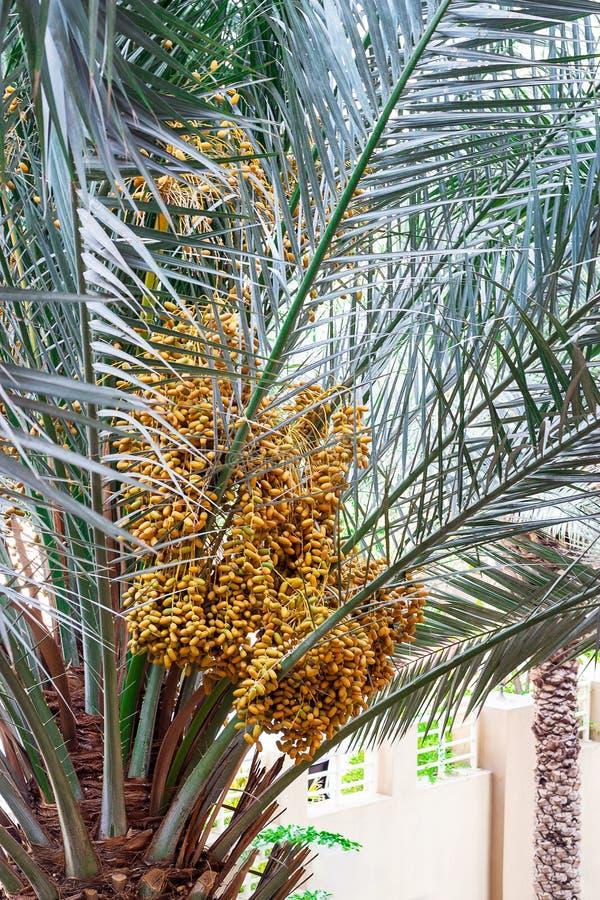 Rijpe Data die palm kweken Balkonmening Doubai, de V stock afbeeldingen