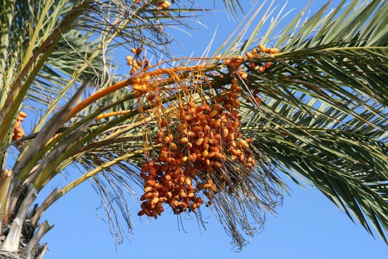 Rijpe data op een palm royalty-vrije stock fotografie