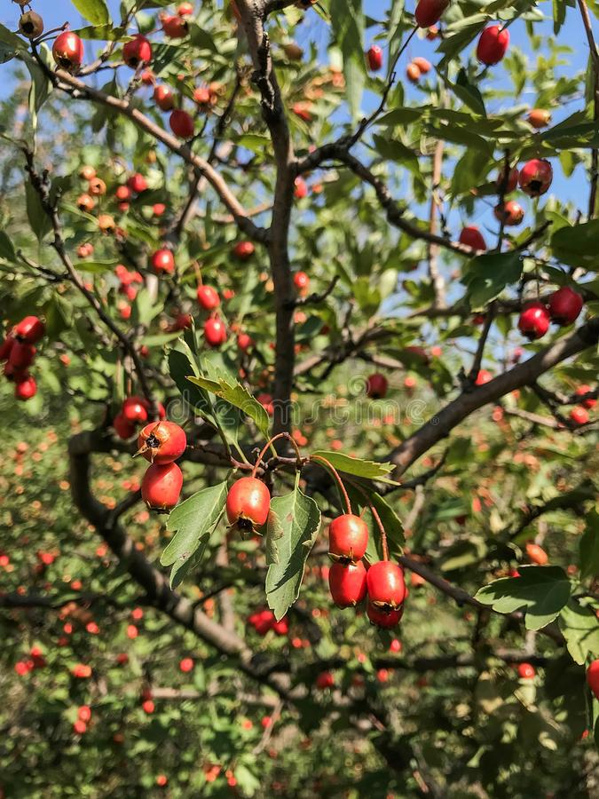 Rijpe dichte omhooggaand van het rozebottelfruit Hond-nam groeien met equisetum op bokehachtergrond toe Kruidenbehandeling Struik stock afbeelding