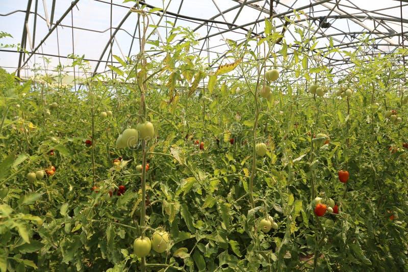 Rijpe die tomaten in een serre worden gekweekt stock afbeelding