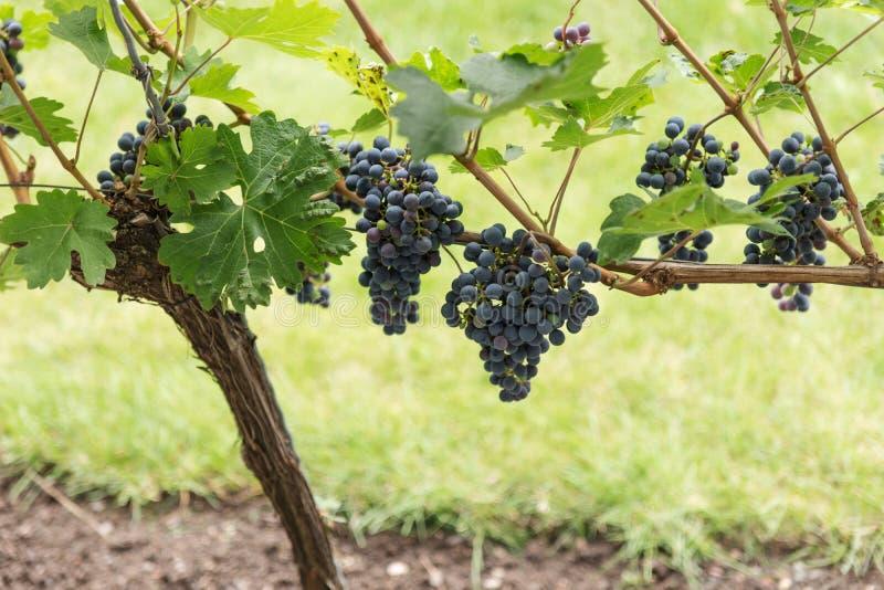 Rijpe donkerrode wijndruiven op de wijnstok klaar voor oogst stock afbeeldingen