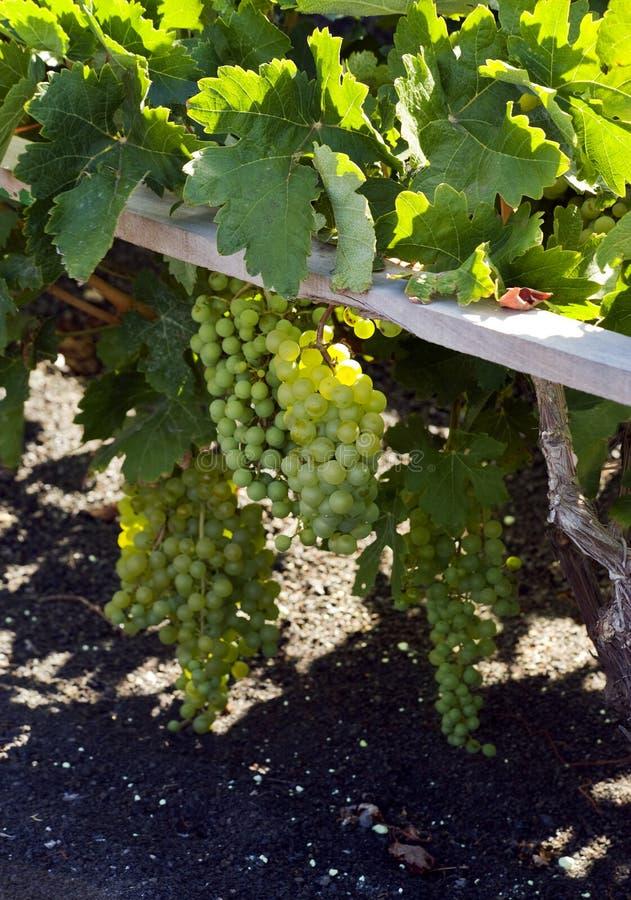 Rijpe druiven bij wijngaard, La Geria, lanzarote stock fotografie