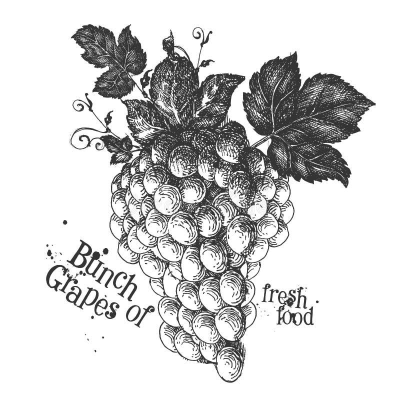 Rijpe druiven op een witte achtergrond schets vector illustratie