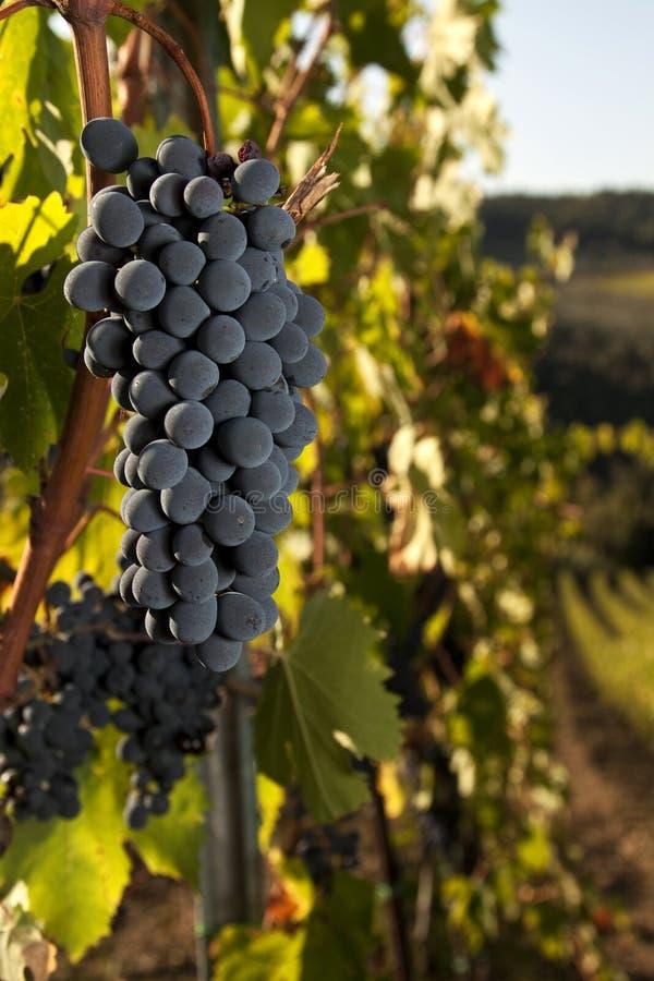 Rijpe druiven in wijngaard stock afbeelding