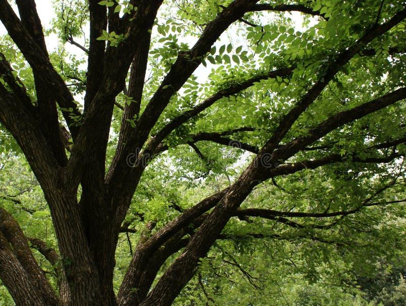 Rijpe eiken boom stock afbeeldingen
