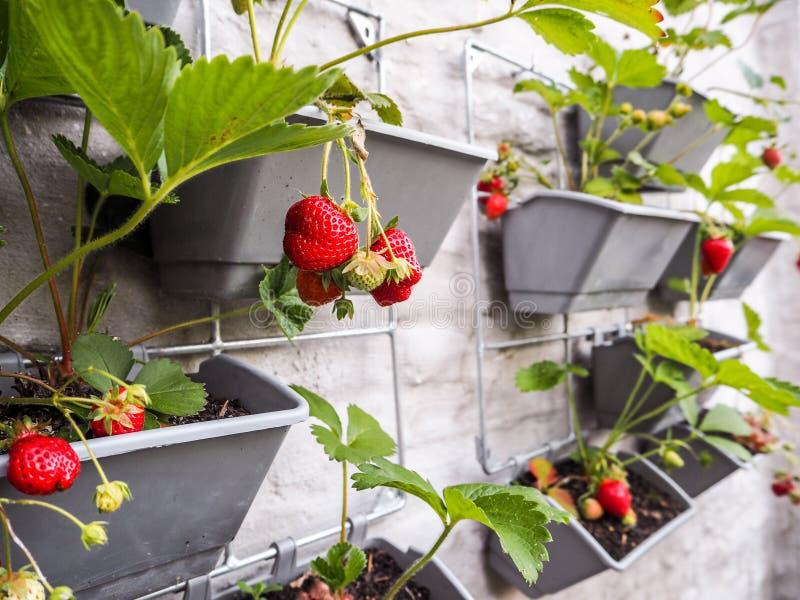 Rijpe en onrijpe aardbeien die van rijen van aardbeipla hangen royalty-vrije stock afbeelding