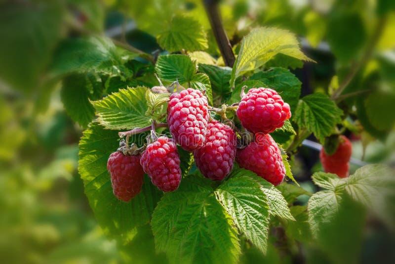 Rijpe framboos in de fruittuin stock fotografie