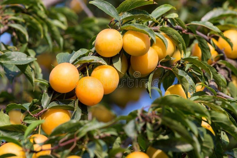 Rijpe gele pruimen op de boom Fruitboom royalty-vrije stock fotografie