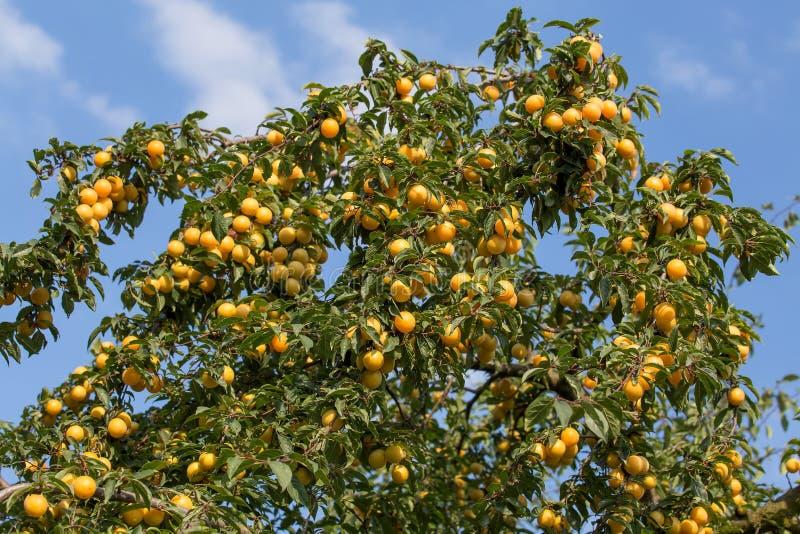 Rijpe gele pruimen op de boom Fruitboom stock afbeelding