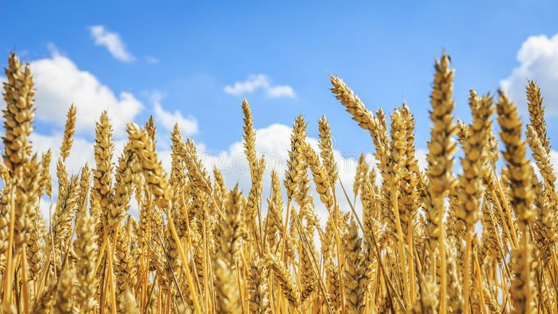 Rijpe gele tarwe op een gouden gebied tegen een blauwe hemel met wolken Oogst van tarwe Het oogsten van korrelgewassen royalty-vrije stock foto