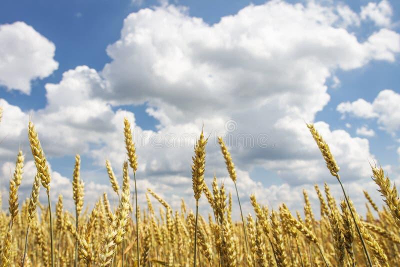 Rijpe gele tarwe op gouden gebied tegen blauwe hemel met wolken Oogst van tarwe Het oogsten van korrelgewassen stock afbeeldingen