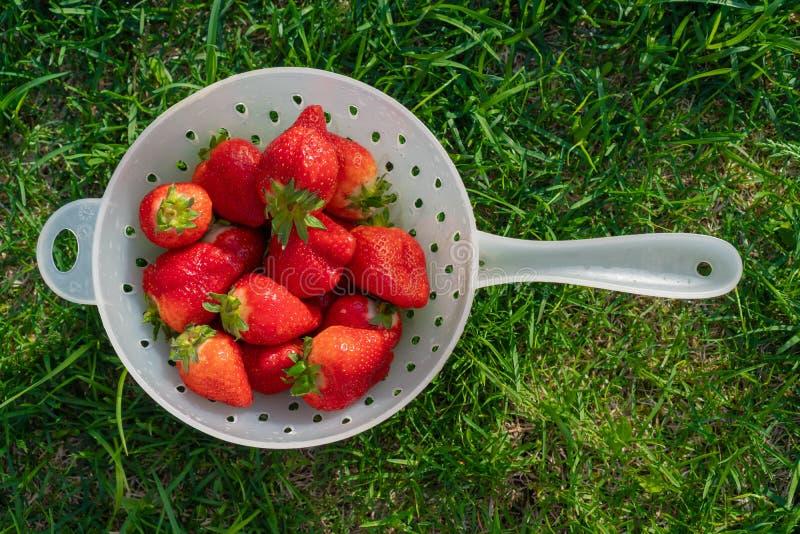 Rijpe gewassen aardbeien op een heldere zonnige dag colander stock afbeelding
