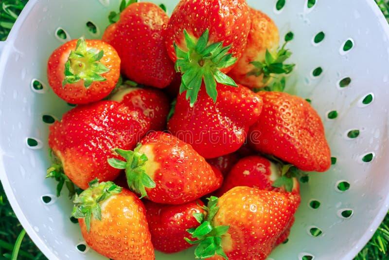 Rijpe gewassen aardbeien op een heldere zonnige dag colander royalty-vrije stock fotografie
