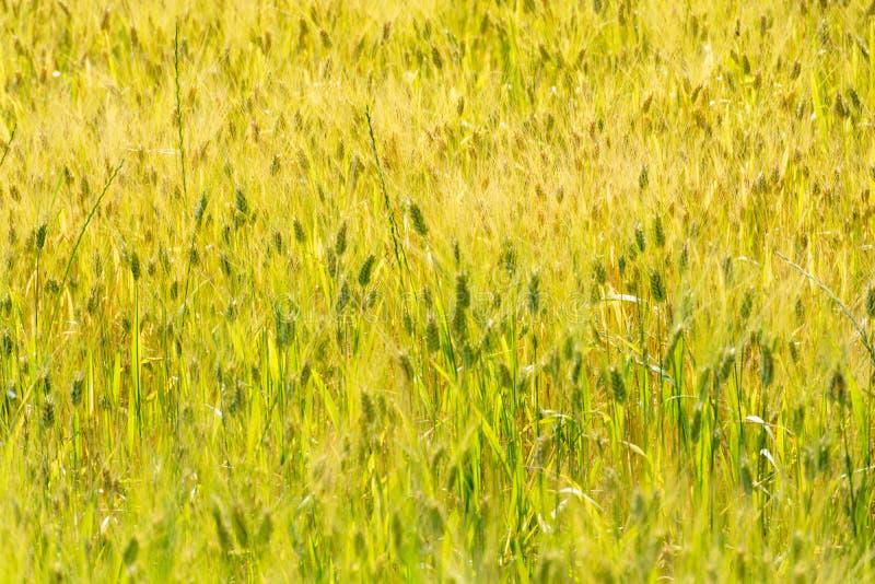 Rijpe gouden tarwegebieden in sunlights, klaar voor oogst, Zuiden stock fotografie