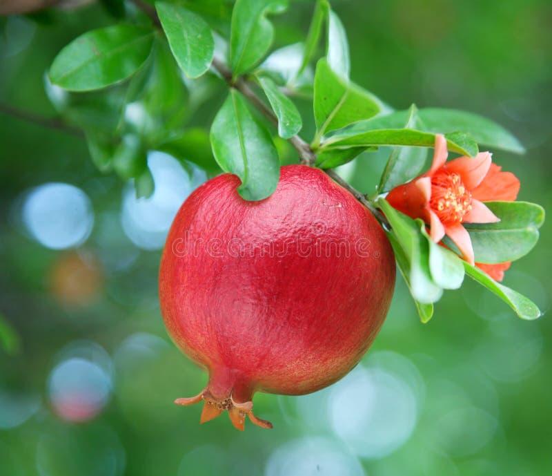 Rijpe granaatappel op de tak. stock afbeeldingen