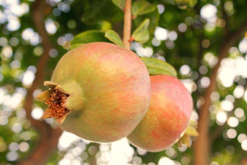 Rijpe granaatappels op boom stock afbeelding