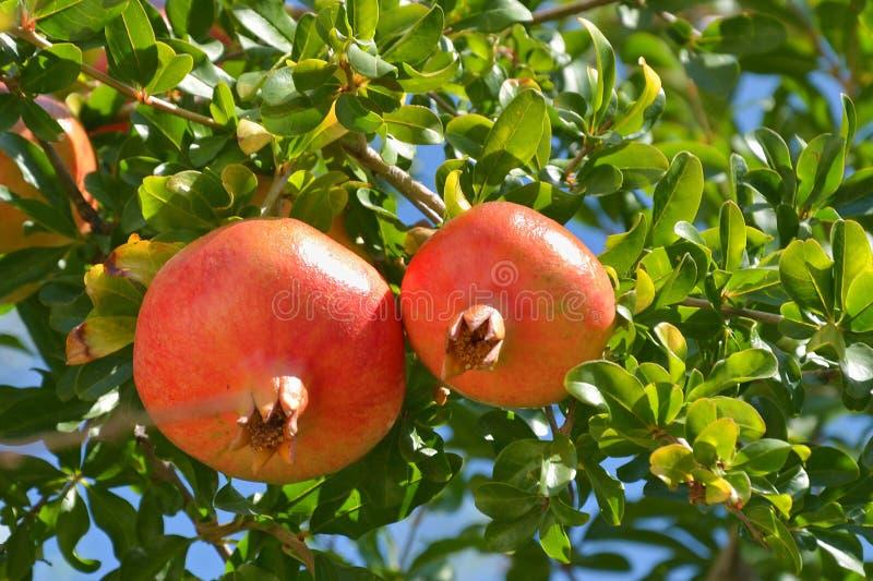 Rijpe granaatappelvruchten in de boom stock foto
