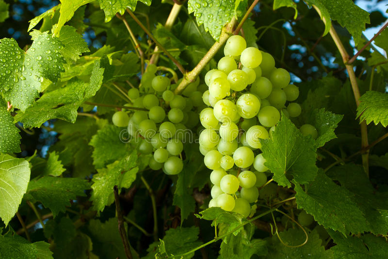 Rijpe groene druiven stock foto's