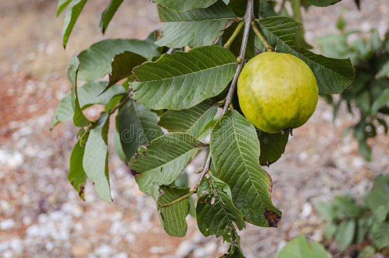 Rijpe Guave op Tak royalty-vrije stock afbeeldingen