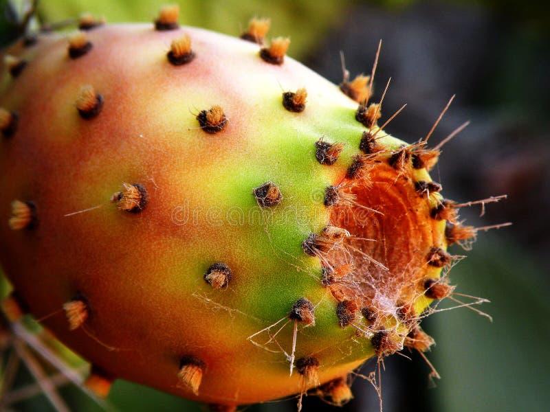 Rijpe het fruit van de cactus stock foto