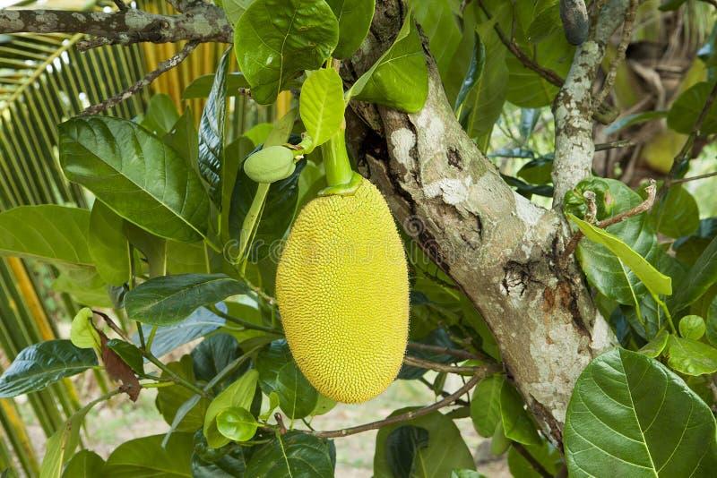 Rijpe Jackfruit in groen gebladerte Jackfruitboom Grote tropische fruit, takken en bladeren stock foto's