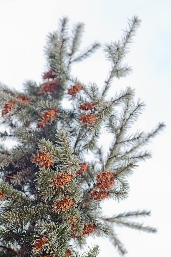 Rijpe kegel op blauwe Tak van blauwe spar, groen, wit, de blauwe die sparren van Colorado, Picea pungens met rijpnieuwjaar wordt  stock afbeeldingen