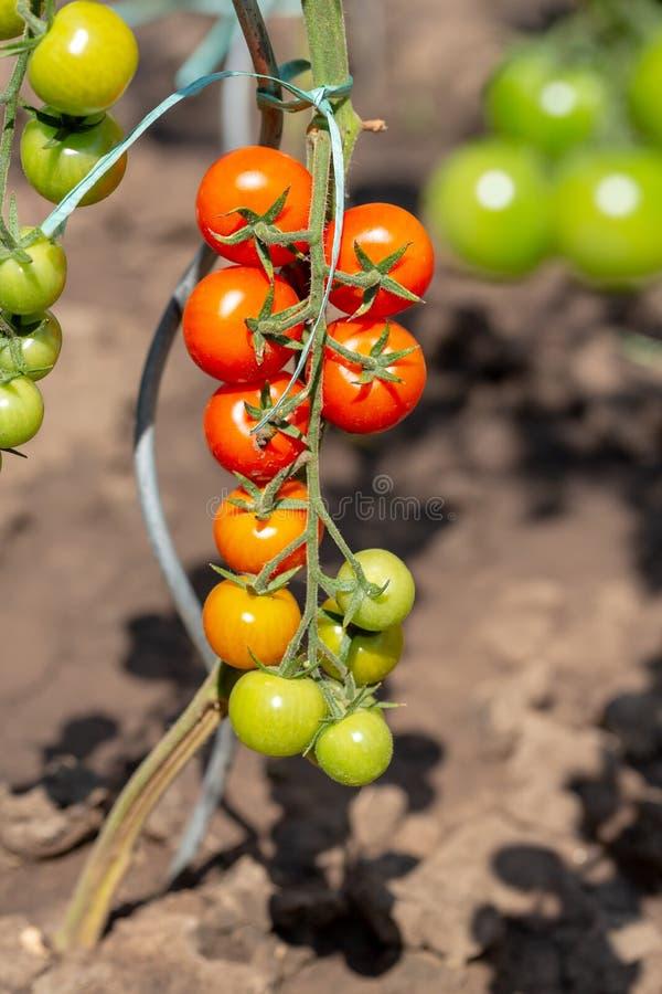 Rijpe kersen organische tomaten in tuin klaar om Inlandse tomaat op installatie in tuin te oogsten Rijpe tomaten op de wijnstok royalty-vrije stock foto's